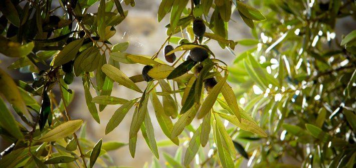 Olivenöl für dein Pferd